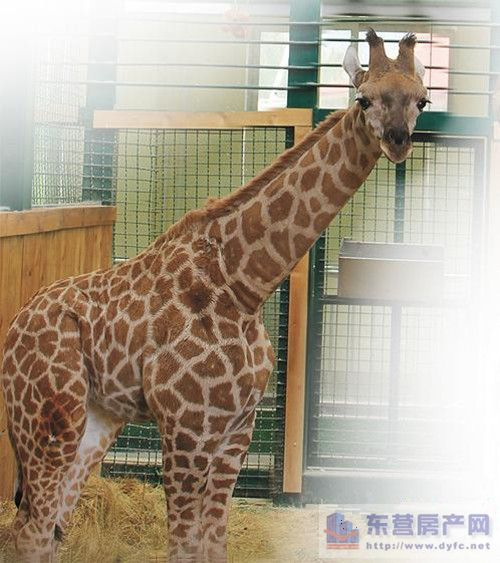 """东营动物园长颈鹿征名揭晓它叫""""乐乐"""""""